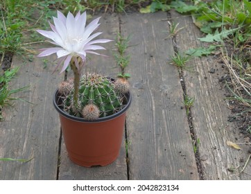 One beautiful Echinopsis Oixigona cactus in beauiful bloom with purple petals - Wooden background.