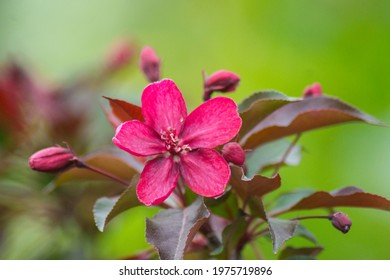 One beautiful large pink, all shades of pink, purple flower with leaves, unopened buds of a fruit tree of a decorative apple tree on a green background. - Shutterstock ID 1975719896