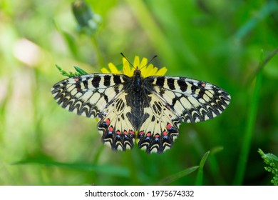 One beautiful light butterfly with gray, black, orange, red patterns with closed, folded wings sits on a blooming dandelion.A flying insect. - Shutterstock ID 1975674332