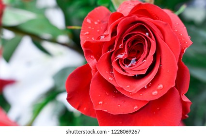 ONE BEAUTIFUL RED ROSE WITH DROPS OF WATER ON THE PETALS DUE TO THE DEW OF THE FRESH MORNING AND SOME WHITE FLOWERS AT THE BACK