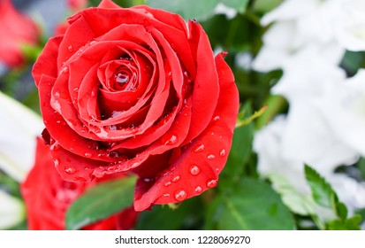 ONE BEAUTIFUL RED ROSE WITH DROPS OF WATER ON THE PETALS DUE TO THE DEW OF THE FRESH MORNING
