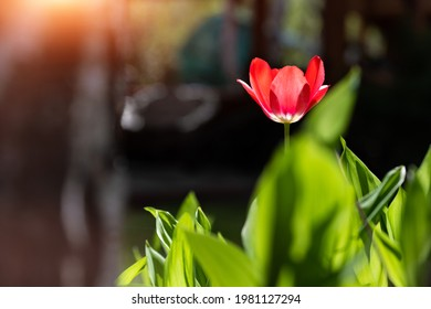One beautiful red tulip flower with fresh green leaves growing in home garden backyard backlit with warm sun against dark shadow background. Standout and unique soloist individual concept