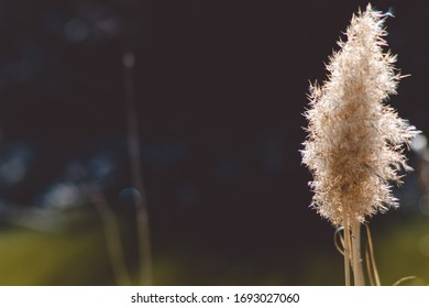 One beautiful reed in spring, close-up on a dark blurry background.Photo. - Shutterstock ID 1693027060