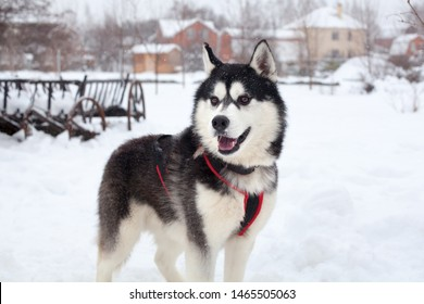 One beautiful Siberian Husky with pink tongue on white snow background closeup, black furry Alaskan Malamute with red harness on winter season nature landscape, cute northern sled dog outdoor portrait