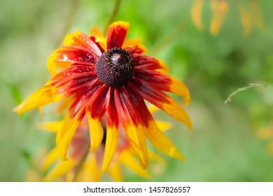 One beautiful wet flower of Rudbeckia with raindrops. Wet blooming flowers of yellow and orange rudbeckia (black-eyed susan) on a flower garden in rainy weather in summer. Foral background, selective