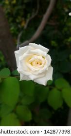 One beautiful white rose closeup
