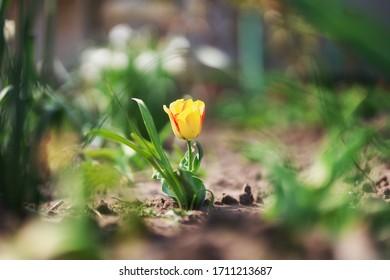 une belle tulipe jaune dans le jardin