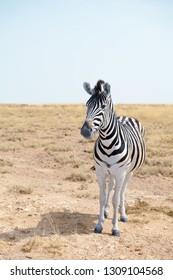 One beautiful zebra in savannah on blue sky background close up, safari in Etosha National Park, Namibia, Southern Africa