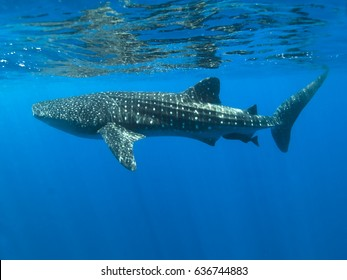 One of Belize's whale sharks swimming towards the camera just below the surface of the sea.