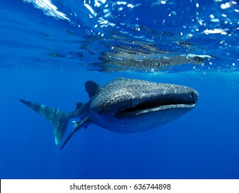 One of Belize's whales sharks swimming towards the camera just below the surface of the sea.
