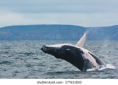 One of the best attraction in Puerto Lopez, whale watching.