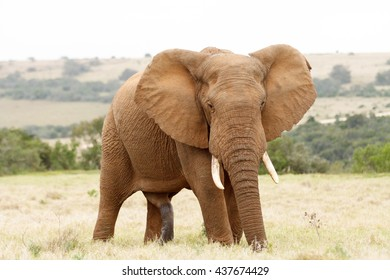 One Big .. The African bush elephant is the larger of the two species of African elephant. Both it and the African forest elephant have in the past been classified as a single species.