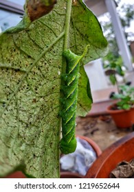 One big caterpillar on the back of the leaf.