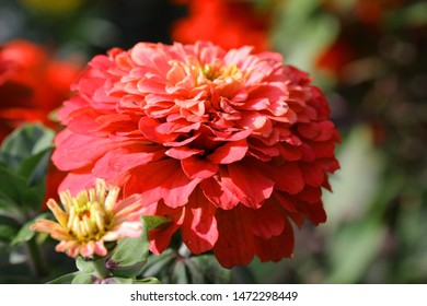 One Big Flower of a red terry on blurring a green background horizontally close up macro.  Zinnia elegans. Asteraceae Family.