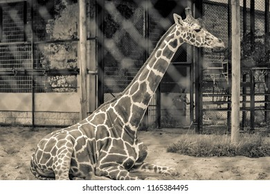 one big giraffe sits in the open-air cage and looks of color sepia