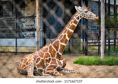one big giraffe sits in the open-air cage and looks