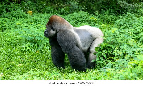 One Big Gorilla Walking in Tropical Jungle / Forest