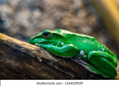 one big green frog closeup also looks with open eyes
