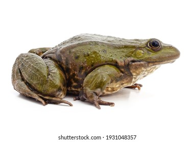 One big green frog isolated on a white background.