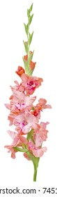 one big green stem of gladiolus with buds and petals red, purple and pink colors isolated on white background closeup