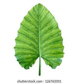 One big green tropical leaf from jungle isolated on white - Giant Upright Elephant Ear, Night-scented Lily (Alocasia Odora).