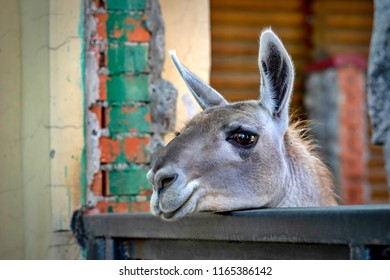 one big head of a lama with open eyes closeup