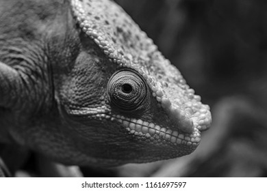 one big head of a lizard of a chameleon with an open eye closeup and in the foreground monochrome tone