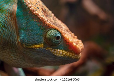 one big head of a lizard of a chameleon with an open eye closeup and in the foreground