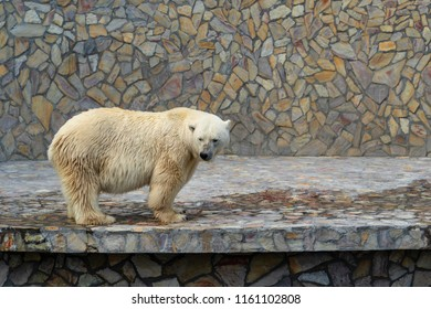 one big polar bear standing on paws on a concrete plate against the background of a stone wall
