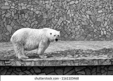 one big polar bear standing on paws on a concrete plate against the background of a stone wall monochrome tone