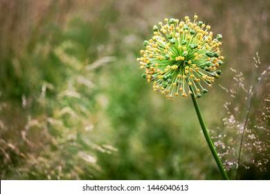One big round decorative blossom onion yellow flower on green blurred bokeh background close up, Allium cristophii or Allium giganteum ornamental plant, scenic dandelion flower in bloom, copy space