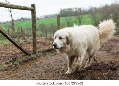 One big white Great Pyrenees dog walking outside at farm