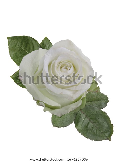One big white rose with leaves on a white background. Isolated.