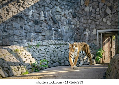 one big wild predator a tiger goes in the stone open-air cage
