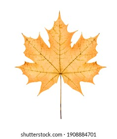 one big yellow maple autumn dried leaf, on white background; isolated