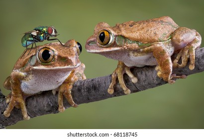 One big-eyed tree frog is looking at a fly that landed on his friend's head.