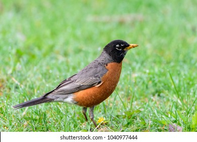 One bird (american robin) on the green grass, facing right.