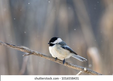 One bird (chickadee) perched on a branch, against a blurred backgroung, and light snow falling from the sky.