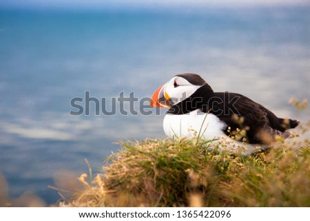 one bird puffin on the background of the sea on a cliff with daisies at sunset in Iceland.