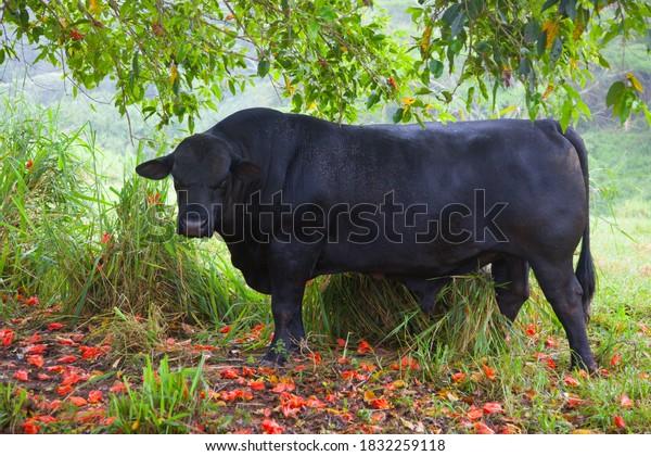 one-black-bull-cow-breed-600w-1832259118