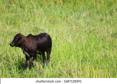 One black calf lives alone in farm meadow, with text spacing on right.
