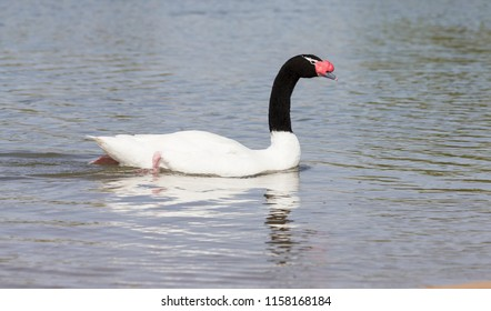 One black-necked swan swimming on a pond in sunlight