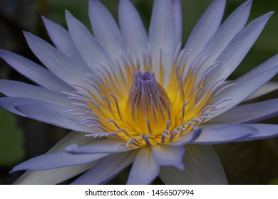 One blooming water lily.  Tropical aquatic plant.  Close-up.