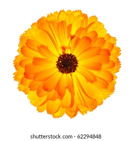 One Blossoming Orange Pot Marigold Flower - Beautiful Calendula officinalis Isolated on White Background. Top view