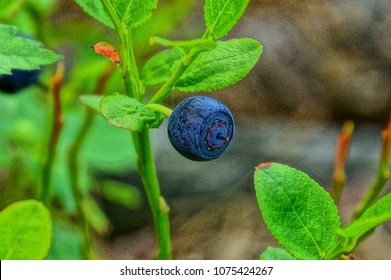 one blue bilberry berry on a bush branch in the forest