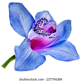 One blue orchid bud close up isolated on white