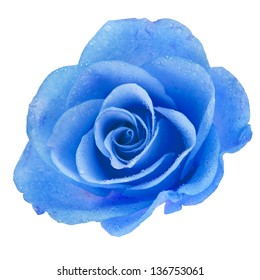 One Blue Rose head with water drops  isolated on white background