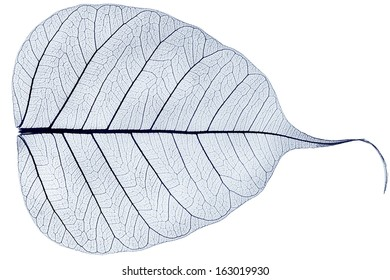 one blue transparent dried fallen leaf isolated on white background
