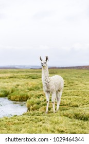 One Bolivian llama along the border between Chile and Bolivia