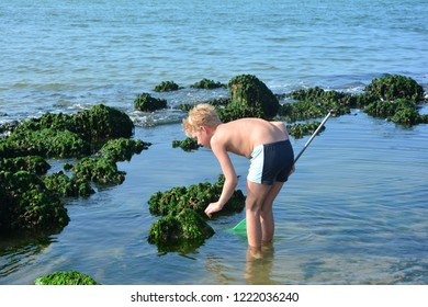 One boy in swimming trunks and fishing net looking for crabs on the beach on the North Sea coast between rocks  with green algae